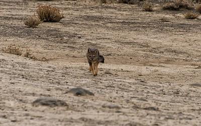 Pantagonian Gray Fox