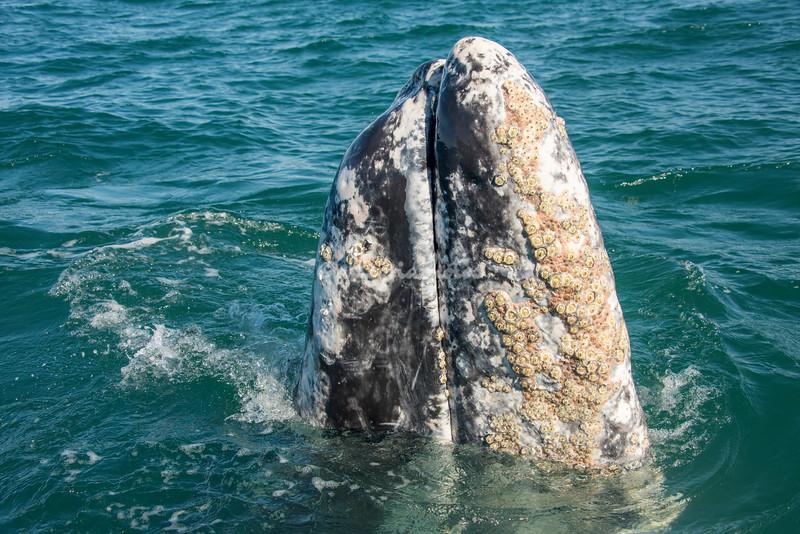 Gray Wale Spy-hopping, San Ignacio Lagoon, Mexico