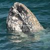 Barnacle-encrusted spy hopping gray whale, San Ignacio Lagoon