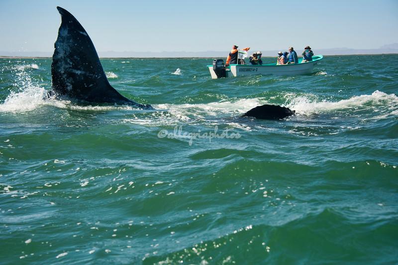 Whale cola between the boats, San Ignacio Lagoon