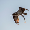 Osprey with a fish, San Ignacio Lagoon