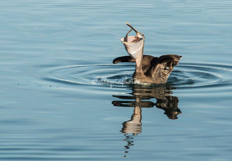 Brown Pelican swallowing a fish, Loreto Harbor, Mexico