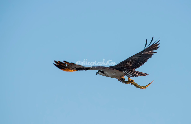 Osprey with a fish, San Ignacio Lagoon