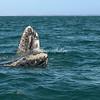 A pair of frolicking gray whales, San Ignacio Lagoon
