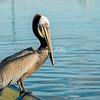 Brown Pelican in Loreto Harbor, Mexico