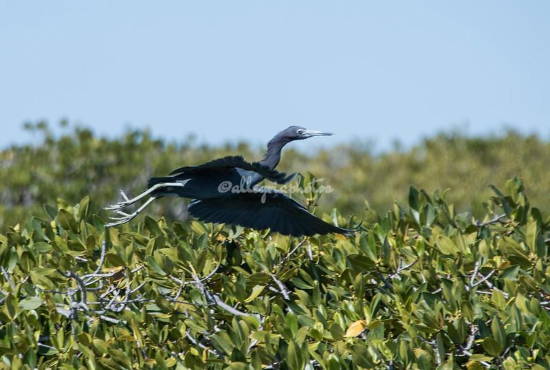 Little Blue Heron in flight, San Ignacio Lagoon