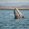 Gray Whale, San Ignacio Lagoon, Mexico