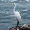Great White Egret, Loreto harbor, Mexico