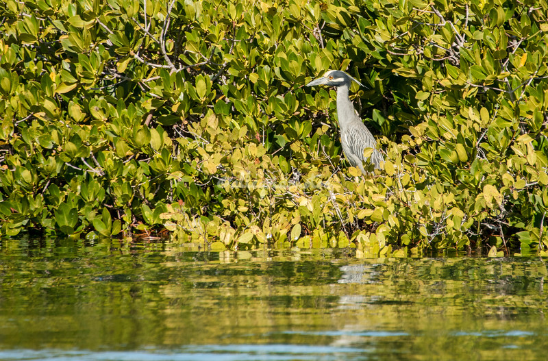 Yellow crested Night Heron in the mangoves, San Ignacio Lagoon