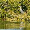 Yellow crested Night Heron in the mangoves, San Ignacio Lagoon