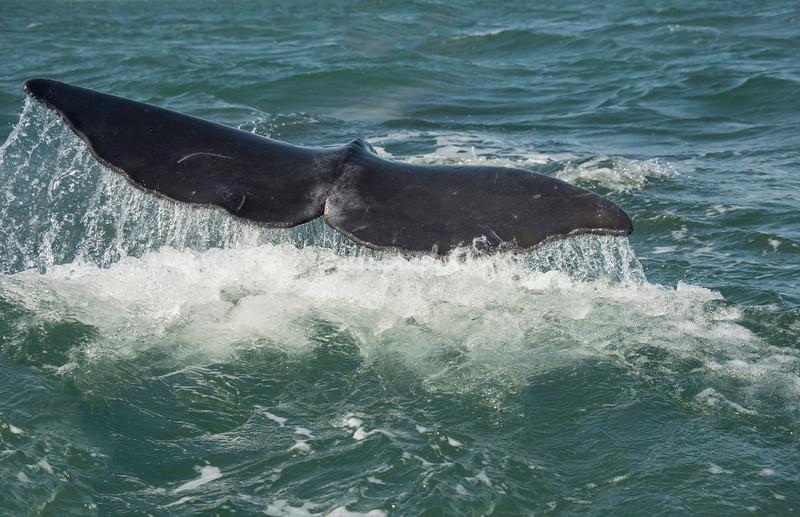 Tail of a diving Gray whale, San Ignacio Lagoon