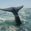 Tail fin , or cola of a Gray Whale, San Ignacio Lagoon