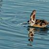 Brown Pelican catching a fish, Loreto Harbor, Mexico