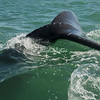 Tail fin or Cola of a Grey Whale, San Ignacio Lagoon