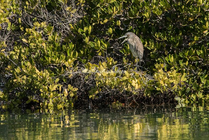 Juvenile night heron in the mangroves, San Ignacio Lagoon