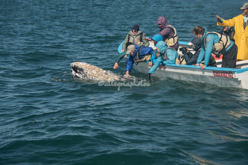 Caressing a gray whale, San Ignacio Lagoon