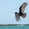 Turkey Vulture in flight, San Ignacio Lagoon