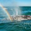 Rainbow through the whale's spout, San Ignacio Lagoon