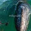 Gray Whale Calf, San Ignacio Lagoon