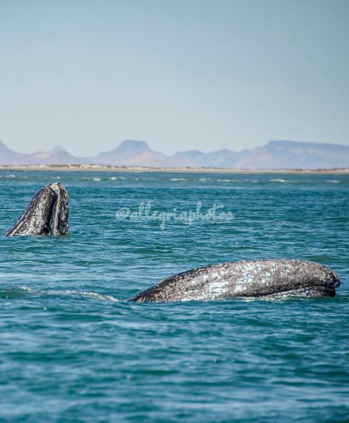 Gray Whales, San Ignacio Lagoon, Mexico