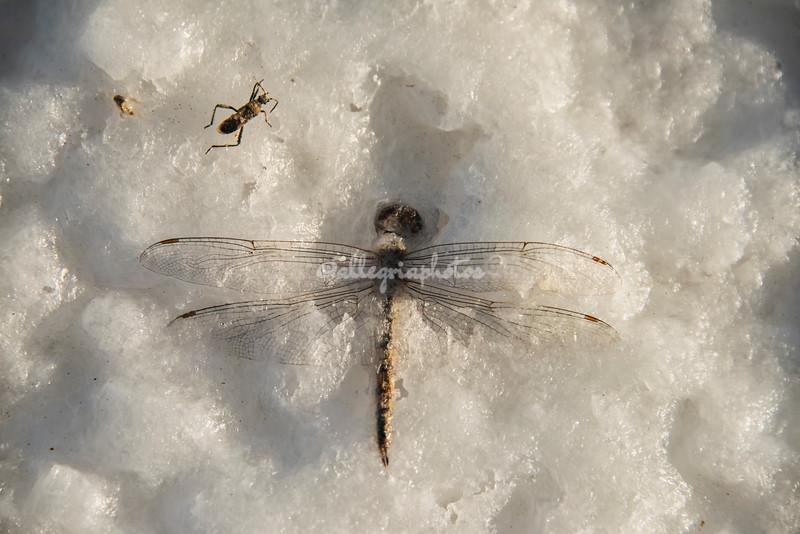 A dragonfly encrusted in the salt, Salt Flats, San Ignacio