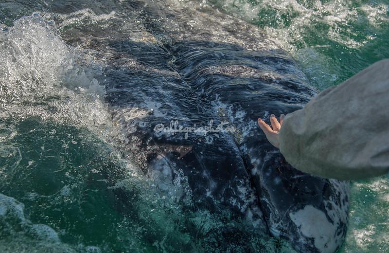 A close encounter with a gray whale, San Ignacio Lagoon