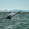 Tail fin, or cola, of a gray whale, San Ignacio Lagoon