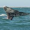 Tail fin or cola of a Gray Whale, San Ignacio Lagoon