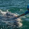Caressing a Gray Whale, Sant Ignacio Lagoon