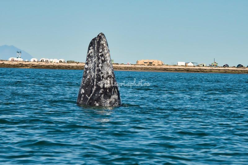 A spy-hopping gray whale, San Ignacio Lagoon, Mexico