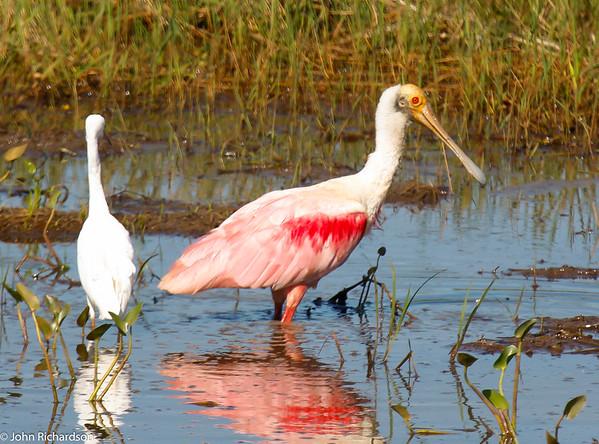 Roseate Spoonbill (Ajaja ajaja) - Pantanal