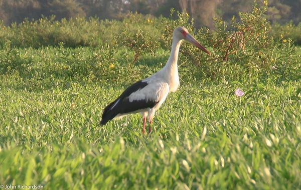 Maguari Stork (Ciconia maguari) - Pantanal