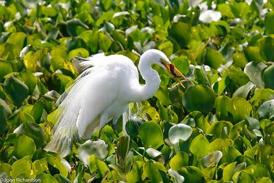 Great Egret (Ardea alba) - Pantanal