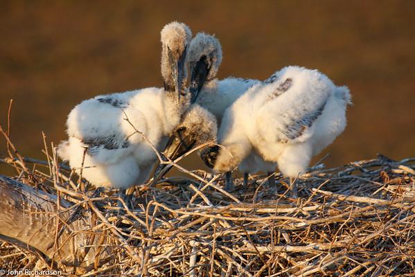Baby Jabiru Storks (Jabiru mycteria) - Pantanal