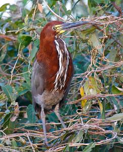 Rufescent Tiger Heron (Tigrisoma lineatum) - Pantanal