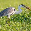 Cocoi Heron (Ardea cocoi, White-necked Heron) - Lake Piuval, Pantanal