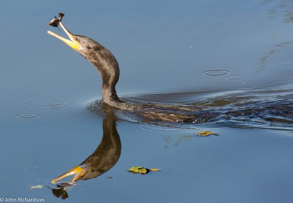 Neotropic Cormorant (Olivaceous Cormorant, Phalacrocorax brasilianus) - Pantanal