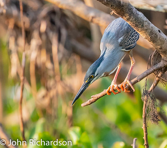 Striated Heron (Butorides striata) - Southwild