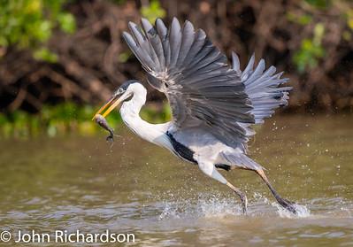 Cocoi Heron (Ardea cocoi) - Southwild, Brazil