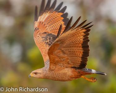 Savanna Hawk (Buteogallus meridionalis) - Pousada Aguape