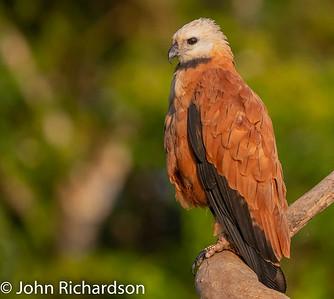 Black-collared Hawk (Busarellus nigricollis) - Porto Jofre