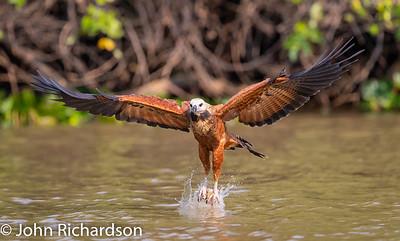 Black-collared Hawk (Busarellus nigricollis) - Southwild, Brazil