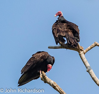 Turkey Vulture (Cathartes aura) - Porto Jofre