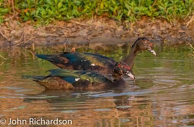 Muscovy Duck (Cairina moschata) - Pousa Alegre, Brazil