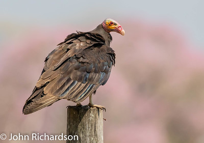 Lesser Yellow-headed Vulture (Cathartes burrovianus) - Pousada Aguape, Brazil