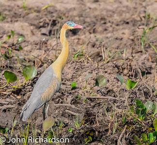 Whistling Heron (Syrigma sibilatrix) - Pousada Aguape