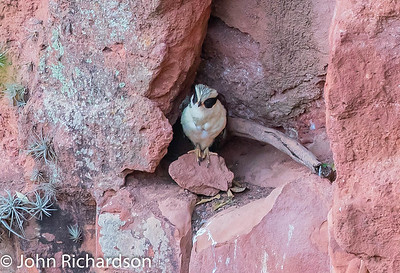 Laughing Falcon (Herpetotheres cachinnans) - Buraco das Araras
