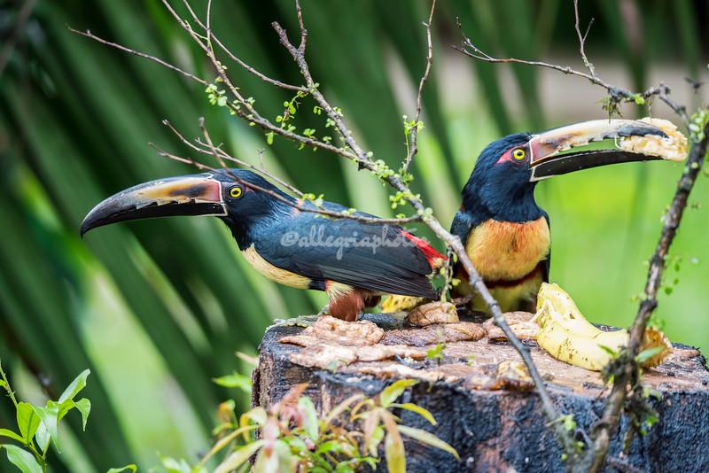 A pair of collared Aracaris