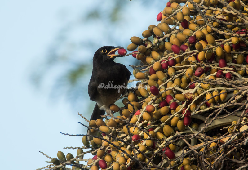 Brown Jay eating berries