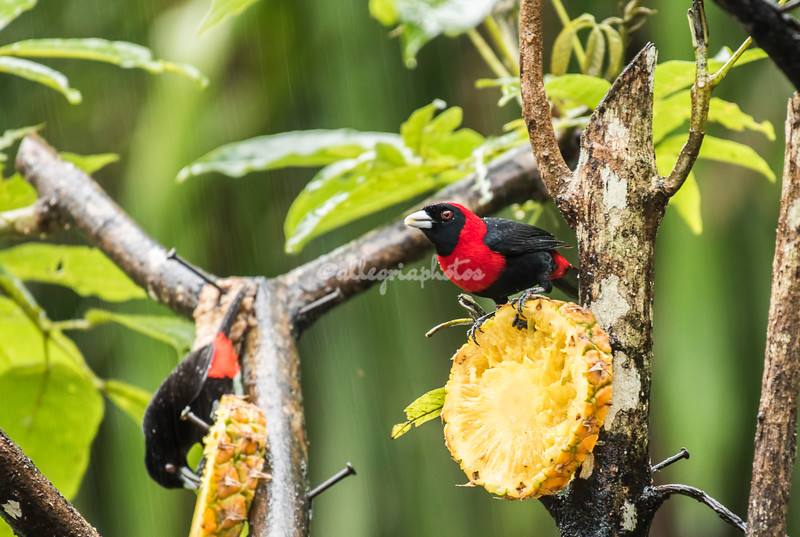Crimson collared tanager